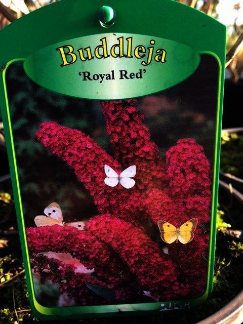 Buddleya Royal Red geeft mooie volle pluimen