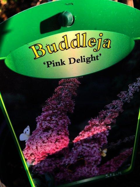 Buddleya Pink Delight geeft mooie volle pluimen