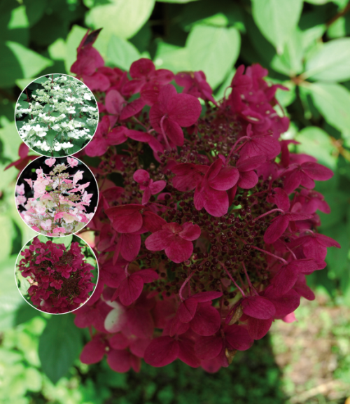 Hydrangea paniculata Wims Red, is een sterke pluimhortensia met rode steel en verkleurende pluimen,