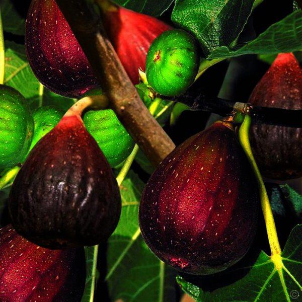 Ficus carica 'Brown Turkey' is de beste en lekkerste vijg voor Nederlands klimaat