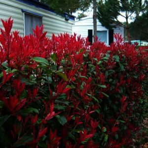 "Photinia fraserie ""Red Robin"" - Glansmispel"