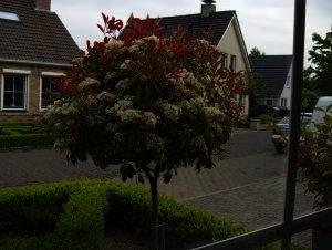 "Photinia fraserie ""Red Robin"" - Glansmispel"