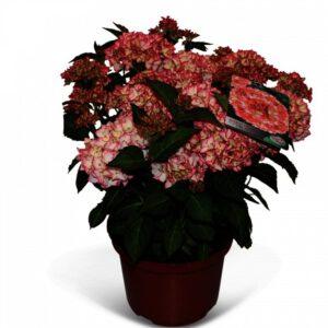 """Hydrangea Hovaria """"Mirai"""" een topper van Hovaria, met aparte bloemkleuren"""