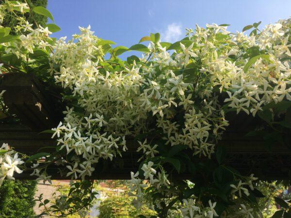 zeer rijkbloeiende Jasmijn uit eigen tuin