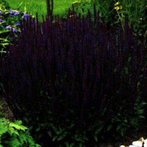 Salvia nemorosa ''Ost Friesland'' is een blikvanger in elke tuin