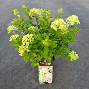 Hydrangea paniculata Little Lime, het kleine broertje van de Limelight, rond 100 cm hoog