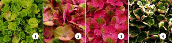 Verkleuring Magical Coral roze