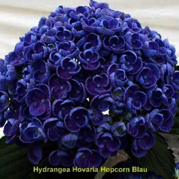 Hydrangea Hovaria 'Hopcorn' - sering hortensia