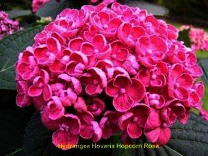 Hovaria hopcorn rose