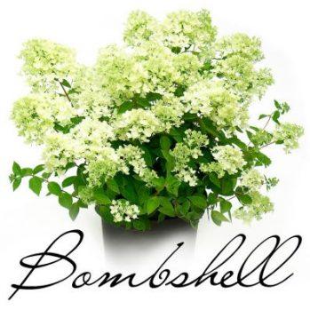Hydrangea paniculata bombshell een nieuwe dwergsoort 80 cm hoog vol witte pluimpjes, 3 per m2
