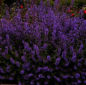 Nepeta faassenii Walkers low bloeit van mei t/m september met lilablauwe bloemen.
