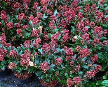 Vanaf oktober t/m maart staat de Skimmia volop in bloei met prachtige rode bloemtrossen.