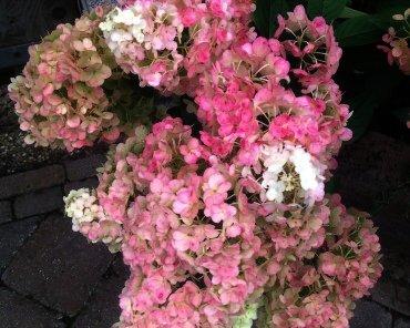"""Hydrangea paniculata """"Sundea Fraise"""" - Schapenkop"""