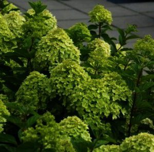 Hydrangea Little Lime is de dwerg versie van de populaire Limelight