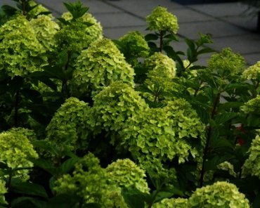 Hydrangea Little Lime is de dwerg versie van de populaire Limelight
