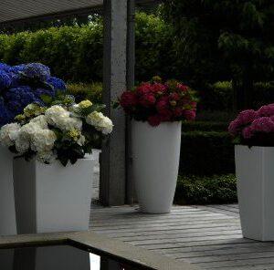 Hydrangea 4ever & ever in 4 doorbloeiende kleuren verkrijgbaar bij buxuskoning.nl