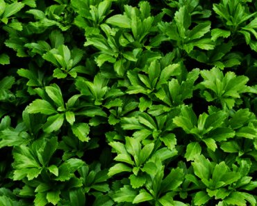 Pachysandra terminalis 'Green Carpet' -Dikkemanskruid ,zeer geschikt voor schaduw