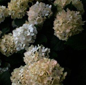"""Hydrangea macrophylla """"Soeur Therese"""" een wit verkleurende hortensia"""