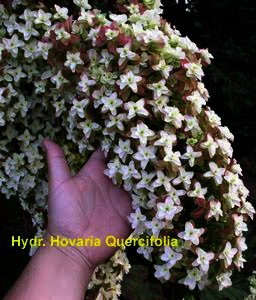 Hydrangea Hovaria Quercifolia - dubbelbloemige eikenblad hortensia