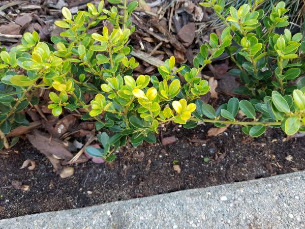Green Hedge heeft een lichtgroene nieuwe groei/ in de schaduw blijft die uit
