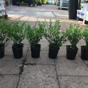"""ILEX crenata """"Green Hedge met 4 planten per pot, volle pot geeft een volle haag, 6 per meter"""