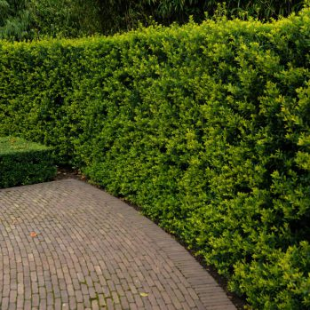 Ilex Green Hedge een van de Ilex alternatieven voor Buxus
