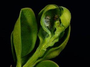 Buxus topgalmijt is een top 3 plaag die jaarlijks terug komt