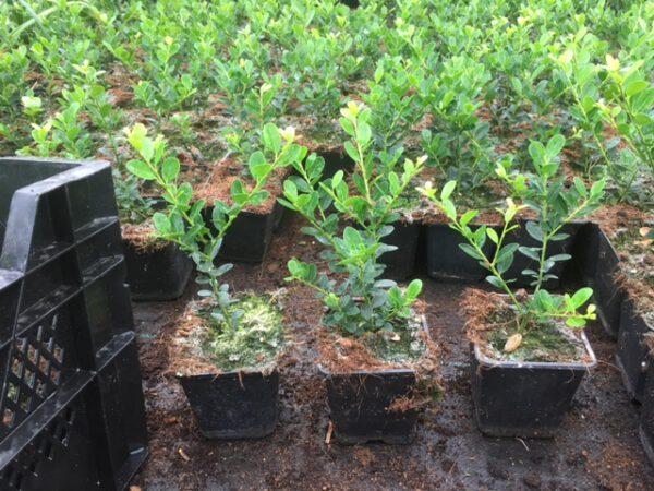 Ilex crenata Green Hedge uit eigen kwekerij