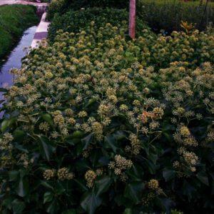 Hedera helix 'Arborescens',