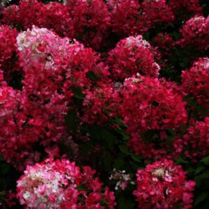 Hydrangea paniculata Diamand Rouge is een nieuwe zeer donkerrood verkleurend