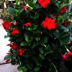 Dipladenia is zeer lang bloeiend tot de eerste vorst toe.