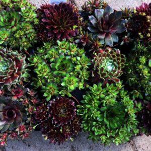 Groenblijvende Sempervivum in diverse kleuren