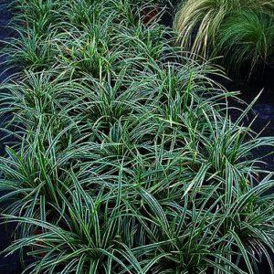 """Carex morrowii """"Ice Dance"""" een van de populairste siergrassen ."""