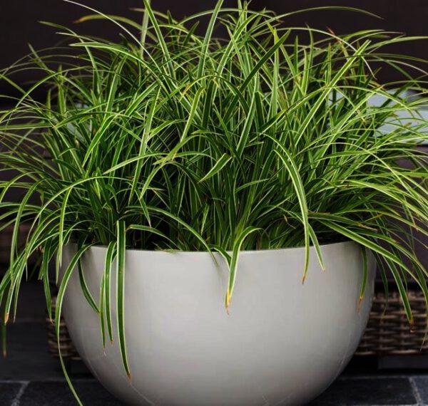 """Carex morrowii """"Ice Dance"""" een van de populairste siergrassen , ook geschikt voor potten,"""