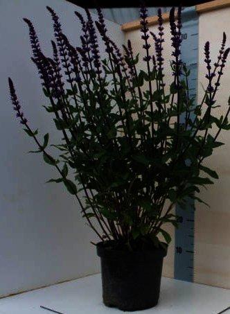 Salvia nemorosa Caradonna is rijk en lang bloeiend