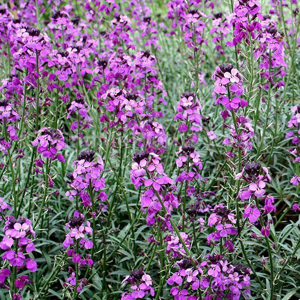Erysimum Bowles Mauve ,deze steenraket bloeit van maart tot november
