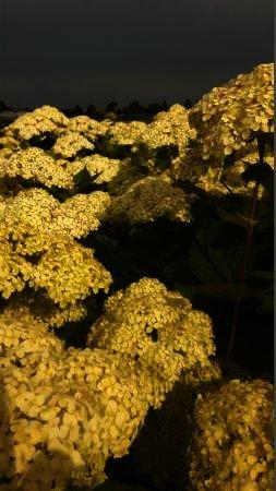 Hydrangea arborescens Lime Ricky
