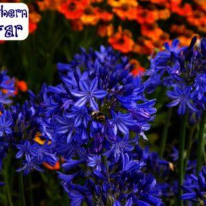 Winterharde Agapanthus , intenseblauwe kleur