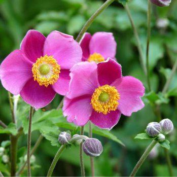 anemone hybrida Rosenschale,rose herfst anemone