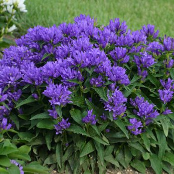 Campanula glomerata Genti Bleu & White zijn beide verkrijgbaar