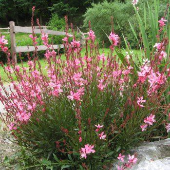 Gaura lindheimeri Geyser Pink - nachtkaars