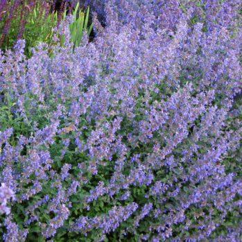 Nepeta faassenii six hills Giant is langbloeiende en geurende plant