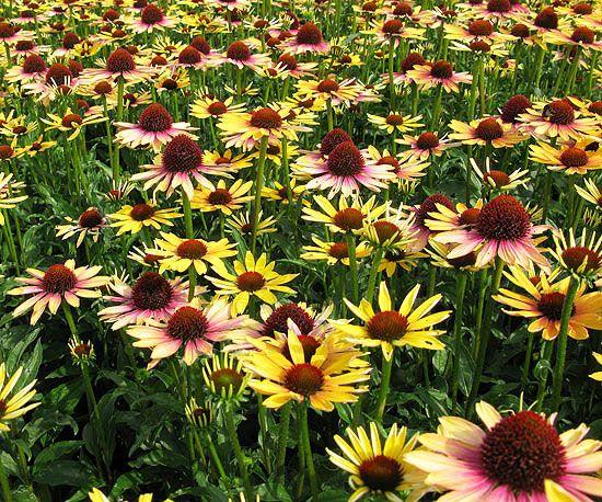 """Echinacea """"evening Glow"""" heeft een aparte meerkleurige bloeiwijze"""