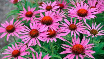 """Echinacea """"Fatal Atraction"""" een van de populairste zonnehoeden, ook goede snijbloem."""