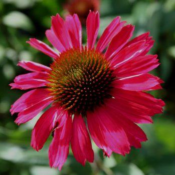 """Echinacea """"Sensation Pink"""" - zonnehoed, rode zonnehoed, nieuw"""