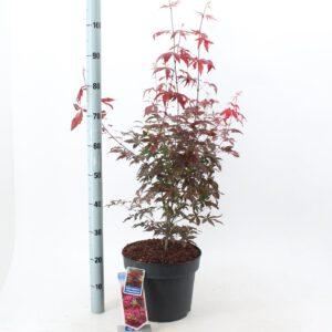 Acer palmatum 'Atropurpureum 80/100 cm in 10 liter pot