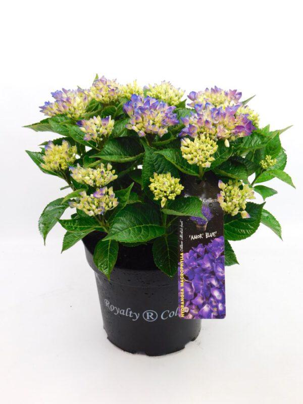 20 kleuren reuze grote Hydrangea in 26 cm pot