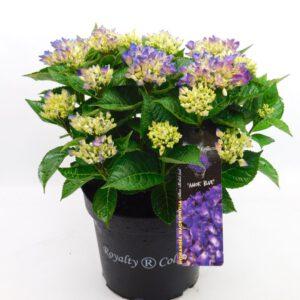 24 kleuren Hydrangea in 7,5 liter pot, 26 cm doorsnee