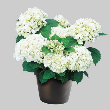 Hydrangea macr Wudu sfeer, een nieuwe witte hortensia