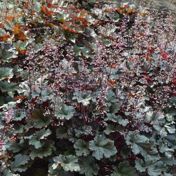 Heuchera ''Dark Secret''